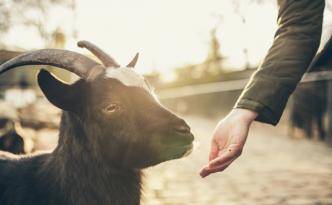 Buying Goats
